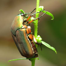 Control Green June Bugs