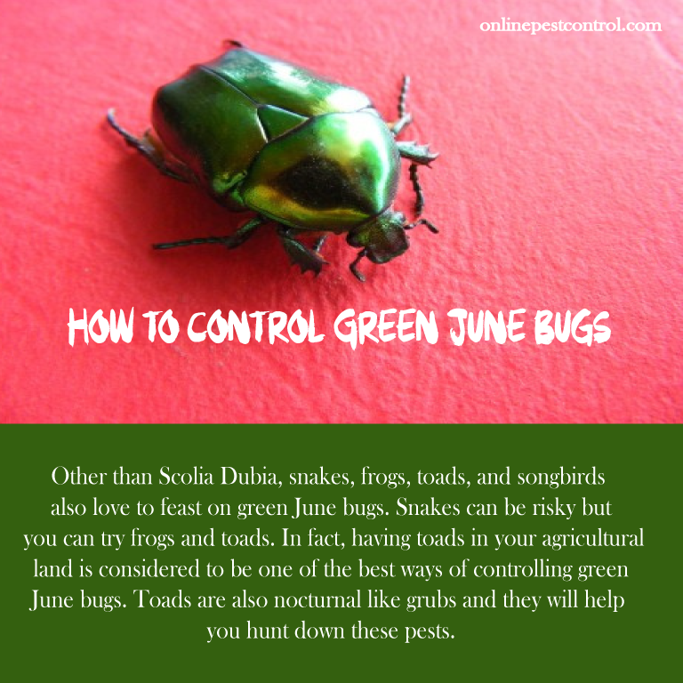 How to Control Green June Bugs - Includes Organic Control