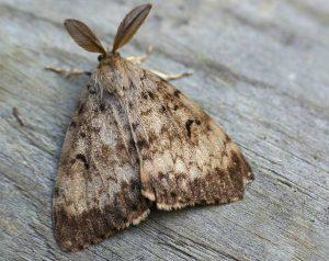 Male Lymantria dispar - Gypsy Bug