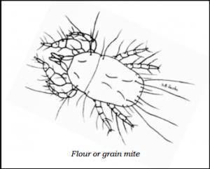 Flour Grain Mite