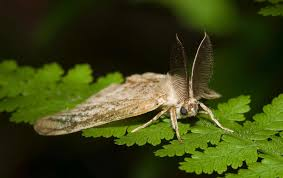 Male Gypsy Moth