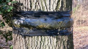 A sticky tree band that traps adult fall cankerworms as they climb up a tree trunk.