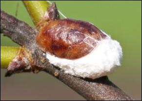 Cottony maple scale
