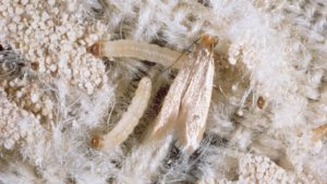 Clothes moths on a wool rug