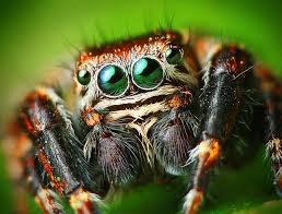 Jumping Spider - Common house spiders