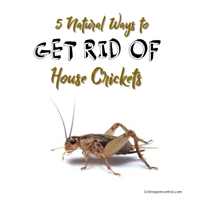 5 Natural Ways To Kill House Crickets Online Pest Control