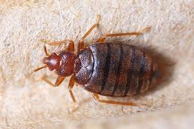 Flying Bed Bugs The Travel Nightmare Of The Future Online Pest